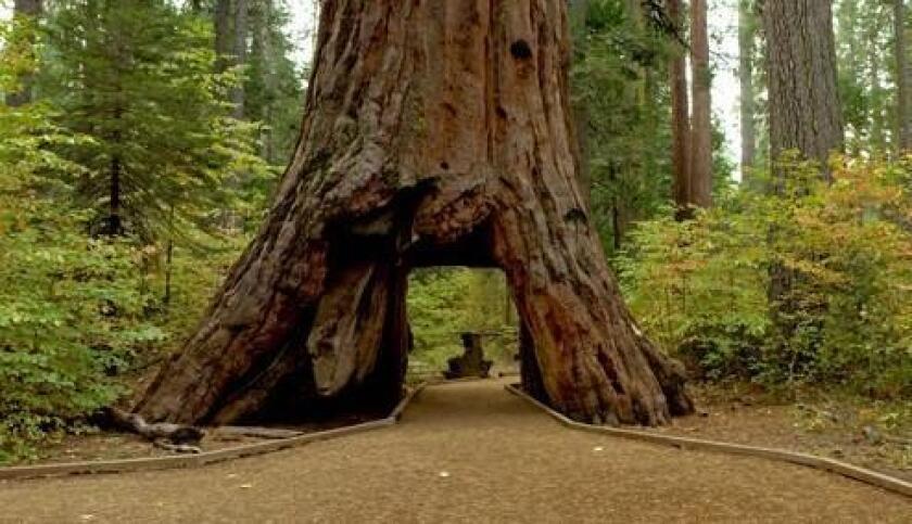 El árbol Pioneer Cabin aparece en una imagen del Departamento de Parques y Recreación de California.