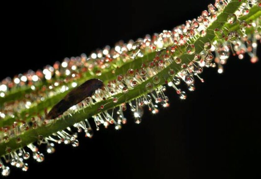 An insect is caught on Drosera filiformis, a threadleaf sundew.