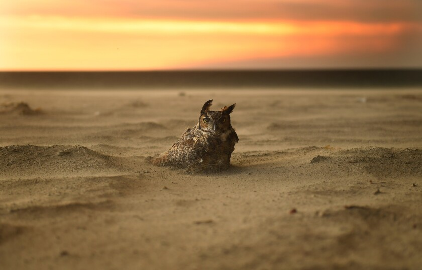 An owl on the beach in Malibu during the Woolsey fire.
