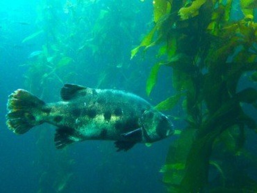 Kelp forests provide homes and food for fish like the black sea bass.