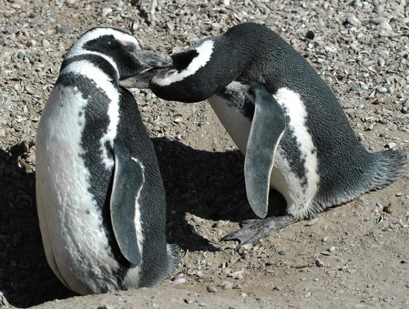 Ajenos a la curiosidad que genera su presencia, centenares de miles de pingüinos llegan en estos días a la provincia argentina de Chubut, donde se inicia la temporada que les convierte en atractivo turístico indispensable. EFE/Archivo