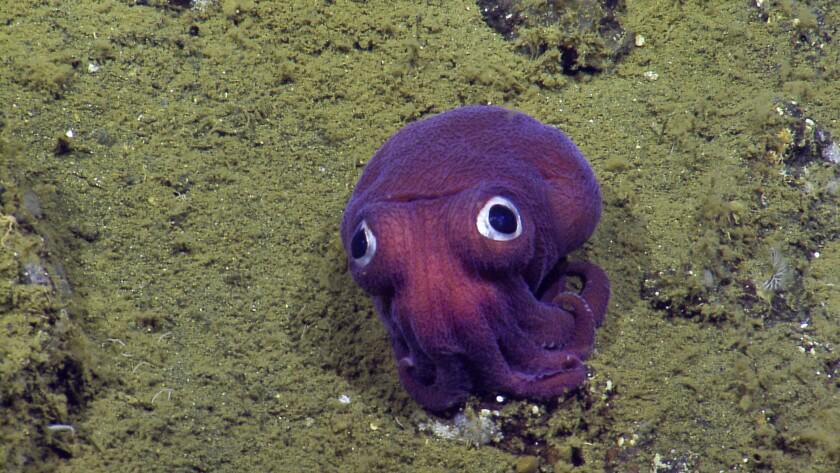 Esta imagen proporcionada por OET/NautilusLive muestra un calamar en el lecho oceánico cerca del parque nacional Islas del Canal al oeste de Los Ángeles, California. La criatura parece un cruce entre un calamar y un pulpo, pero está cercanamente relacionado a una sepia, según el sitio web de Nautilus Live. (OET/NautilusLive vía AP)