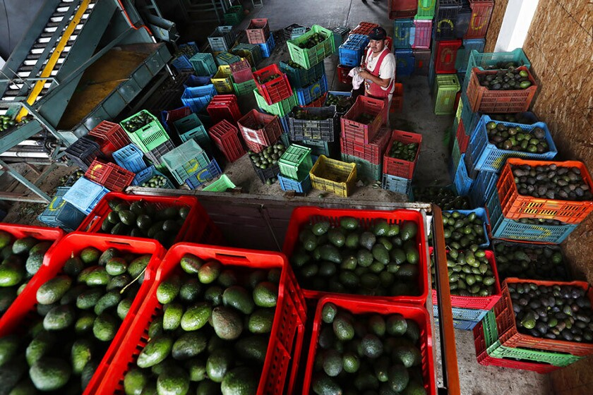 A worker fills crates with avocados at a packing warehouse in Ziracuaretiro, Michoacan.