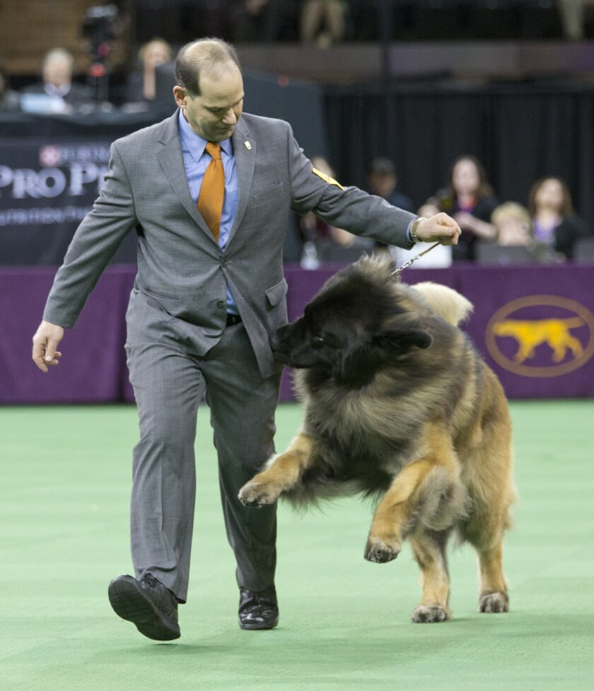 Sam Mammano shows Dario, a Leonberger, in the ring during the working group competition at the 140th Westminster Kennel Club dog show, Tuesday, Feb. 16, 2016, at Madison Square Garden in New York. (AP Photo/Mary Altaffer)