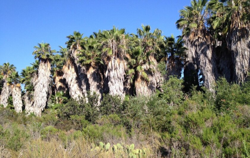 The city plans to remove this palm grove from the Lake Calavera Preserve.