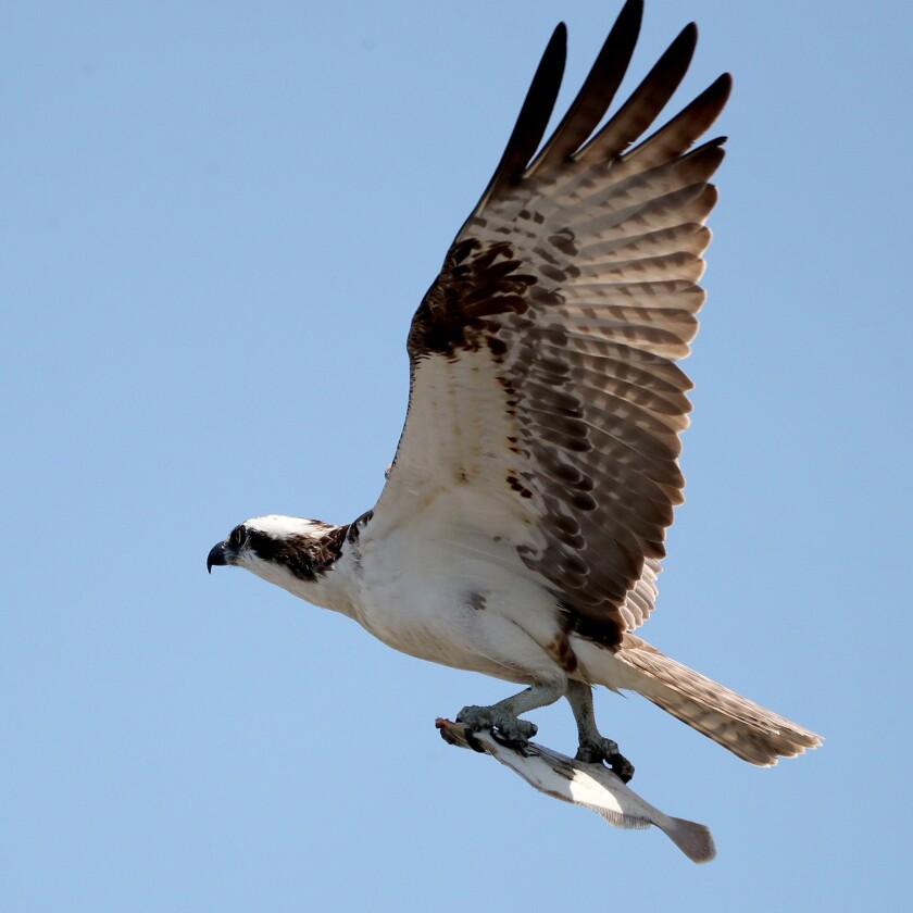 Osprey with its catch in its talons.