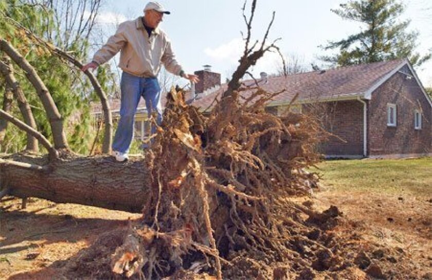 Gene Greenway inspected a 75-foot white pine that he planted in 1970 in Washington Township, Ohio. The tree was toppled Wednesday by a windstorm. Some Ohioans will be without power at least until the weekend. (Larry C. Price / Dayton Daily News)