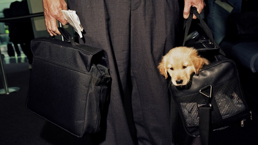 United States - Chicago - Carry-on puppy at O'Hare airport