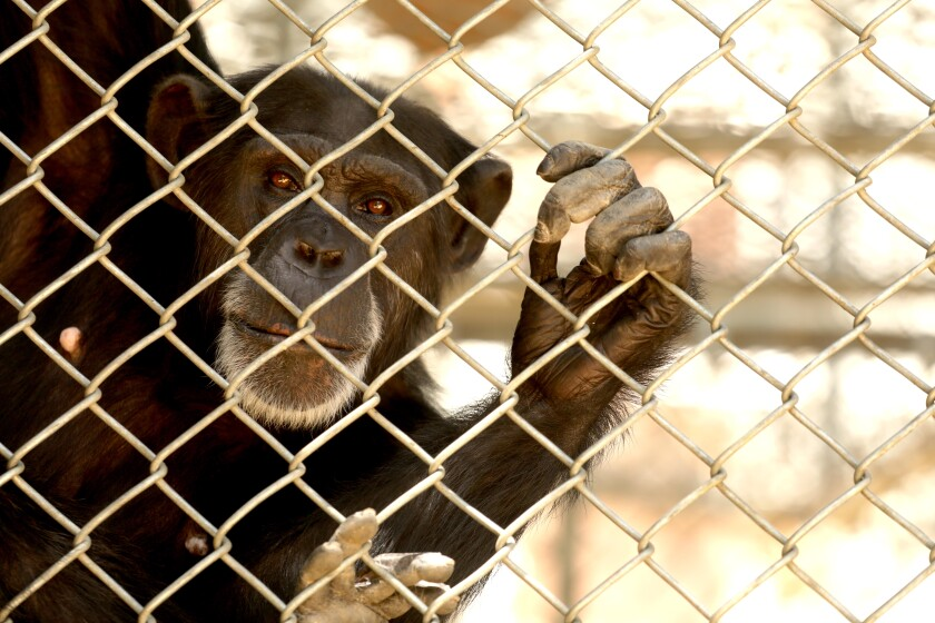 One of the 32 chimpanzees that still reside at the shuttered Wildlife Waystation.