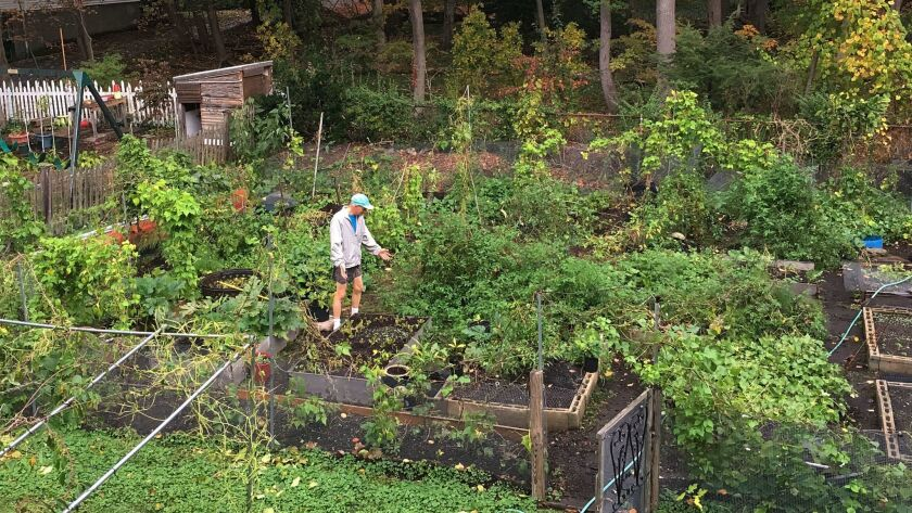 Boston University biology professor Richard Primack, tending his home garden on Oct. 24, 2017, says in New England, many trees aren't changing colors as vibrantly as they normally do because of changes in temperature.