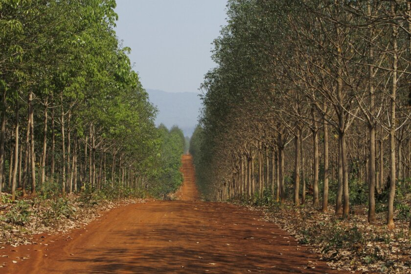 In this Feb. 26, 2015 photo, a road runs through a rubber plantation operated by Socfin-KCD, a European-Cambodia joint venture, in Mondulkiri province in eastern Cambodia. In a global land rush, many countries have sold or leased huge tracts to foreign investors, sometimes forcing out those who liv