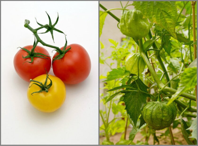 Save your tomato and tomatillo seeds