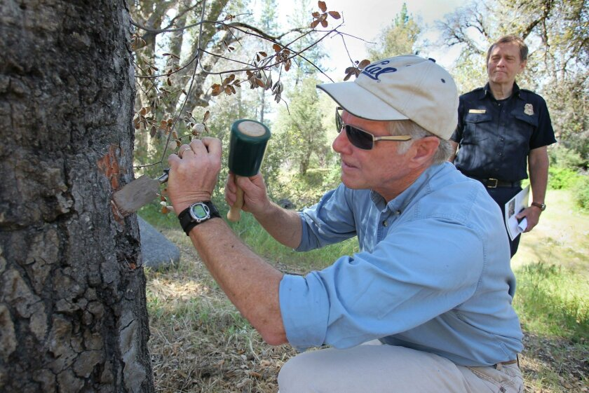 May 11, 2016, Cuyamaca Rancho State Park, California, USA_| Tom Scott, a U.C. Berkeley scientist, uses a chisel to find evidence of the Goldspotted Oak Borer beetle on a dead oak tree at Green Valley Campground. At right is Helge Eng, a CalFire official. | Mandatory Photo Credit: Photo by Charlie N