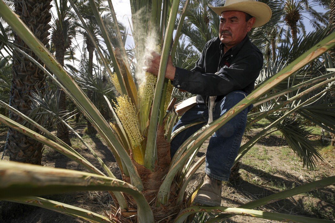 Alvaro Bautista pollinates a medjool date palm by hand at Bautista Family Organic Date Ranch in Mecca.