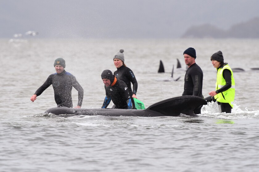 Members of a rescue crew stand with a whale on a sandbar near Strahan, Australia.