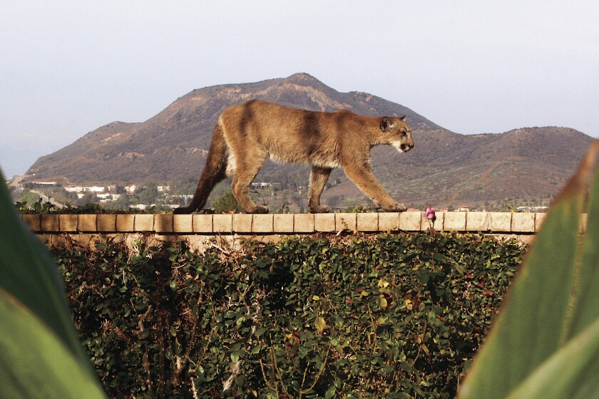 Last December, P-34 made news when she was discovered in a Newbury Park mobile home. A resident, Sherry Kempster, photographed the lion ambling along the top of a wall in her backyard with the Conejo Mountain in the background.
