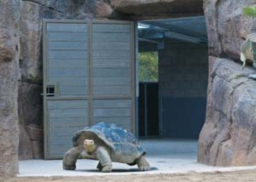 One of the Galápagos tortoises cruises through its new home. Photo: Courtesy