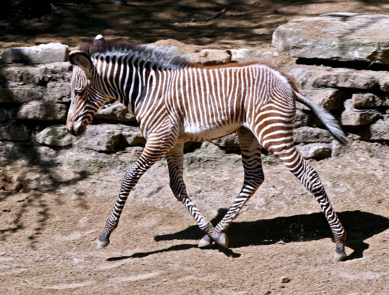 Photo Gallery: L.A. Zoo celebrates birth of rare Grevy's Zebra