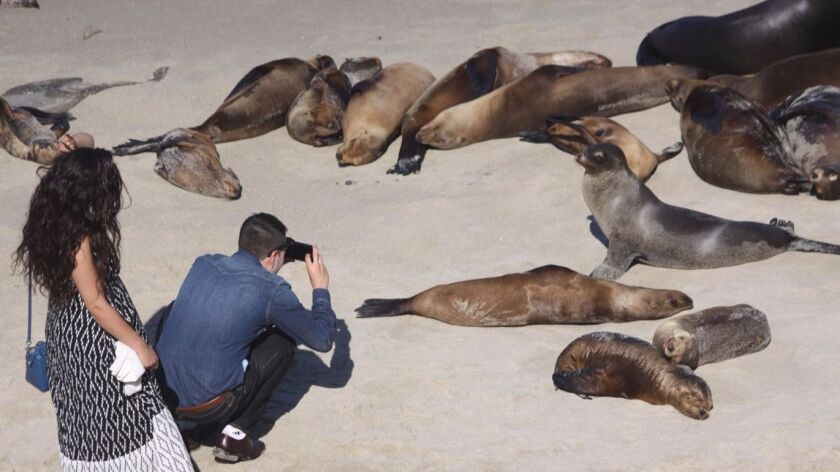 The sea lion population draws tourists and locals to La Jolla Cove, as seen in this 2016 photo.