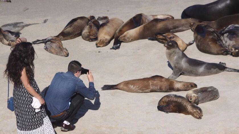 The sea lion population draws both tourists and locals to La Jolla Cove.