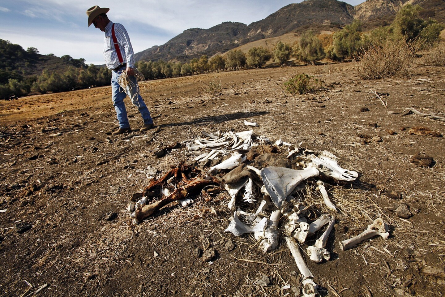 Cattle rancher Rob Frost stands by the remains of one of this cattle that died on grazing land near Santa Paula. Frost says that in an ordinary year he will lose 1% of his cattle to natural causes but that he is now losing near 10%. There is no natural grass for his cattle to eat.