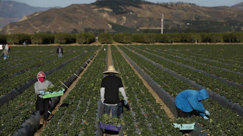 Farmworkers pick strawberries in a field in Oxnard.