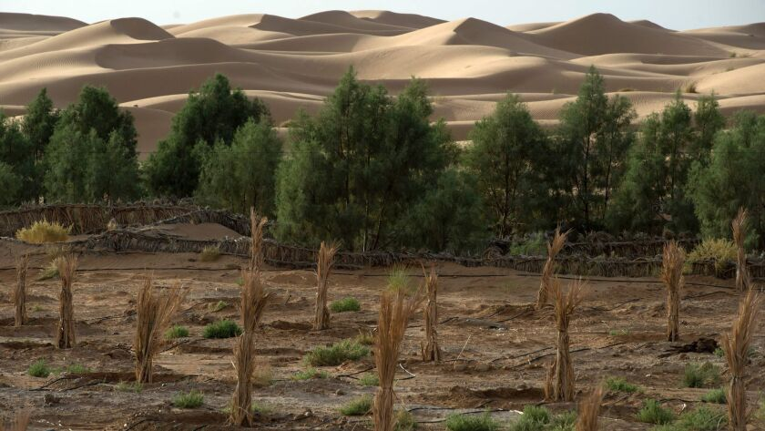 View of a palm field suffering from desertification near Morocco's eastern oasis town of Erfoud in the Sahara desert.