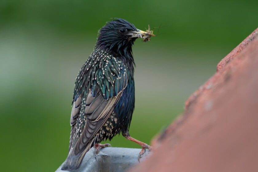An adult common starling (Sturnus vulgaris) holds an insect prey. It is one of the 15 species shown to be affected by elevated imidacloprid concentrations in surface water in the Netherlands.