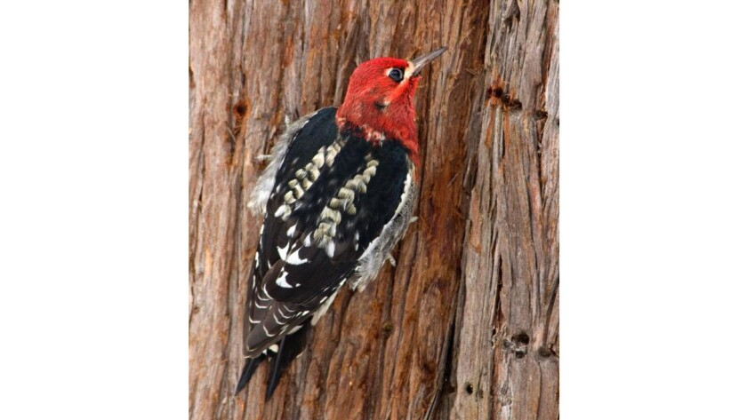 The red-breasted sapsucker's range in the Sierra Nevada has been restricted to higher elevations. This bird was photographed in Washington state.