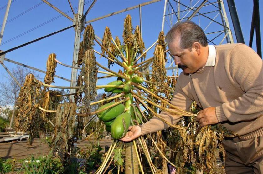 Federico Martínez, un agricultor afectado por las heladas de enero de 2007, examina una planta dañada en un vivero de Carson, California. EFE/Archivo