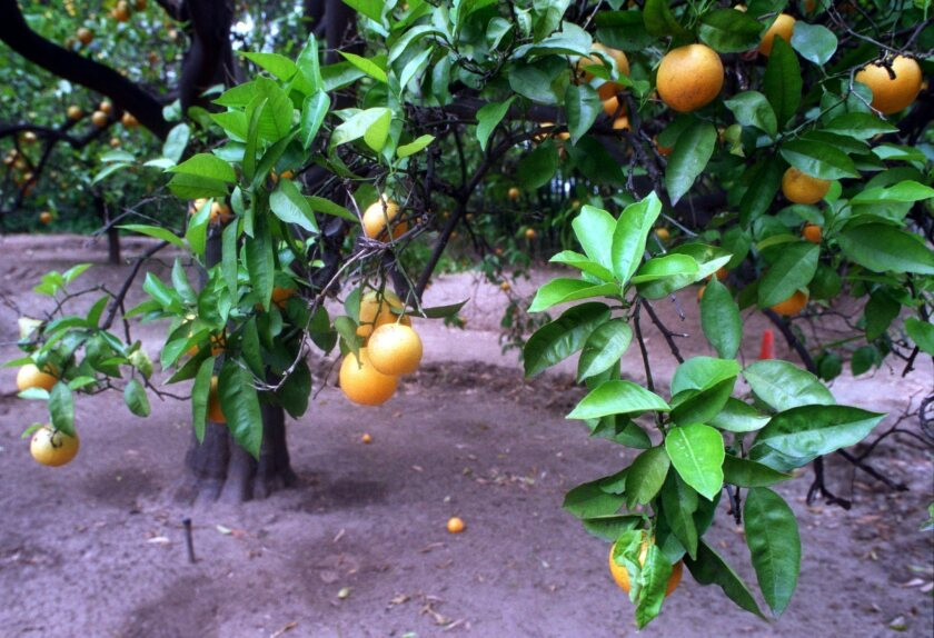 For a healthy tree with proper structure and abundant harvests, follow advice for infrequent but deep watering and pruning only when fruit gets too high to harvest.