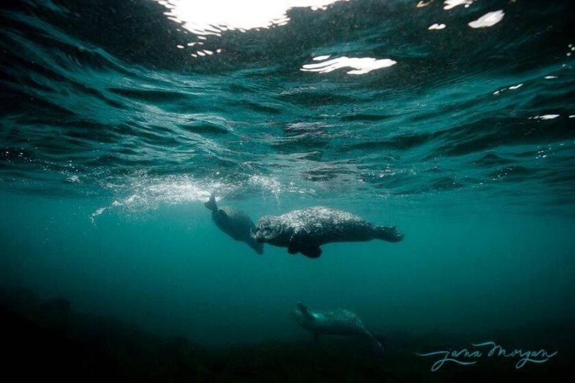 Seals swim in the waters near the Children's Pool in La Jolla.