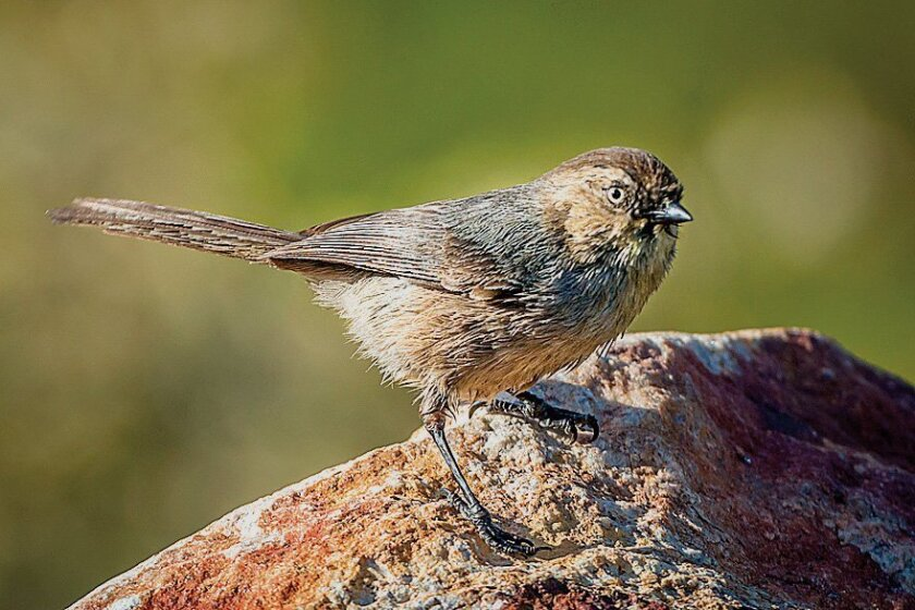Female bushtits have a characteristic yellow eye and can be distinguished from the males, which have black eyes.