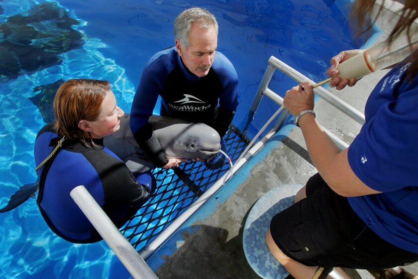 SeaWorld staff members use a tube to feed a special formula to a beluga whale calf Wednesday at the marine-themed park.