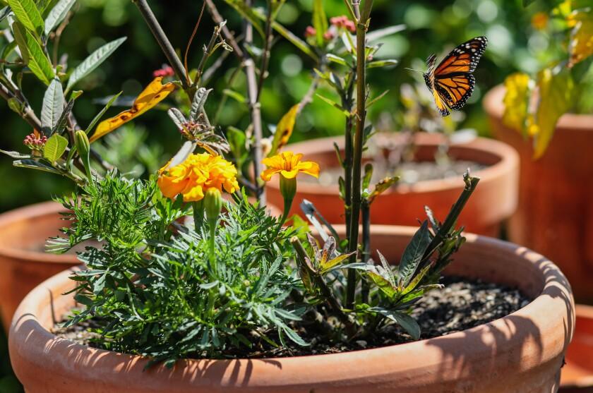 Una mariposa monarca occidental visita una planta de algodoncillo en el patio trasero de Terry Meaney