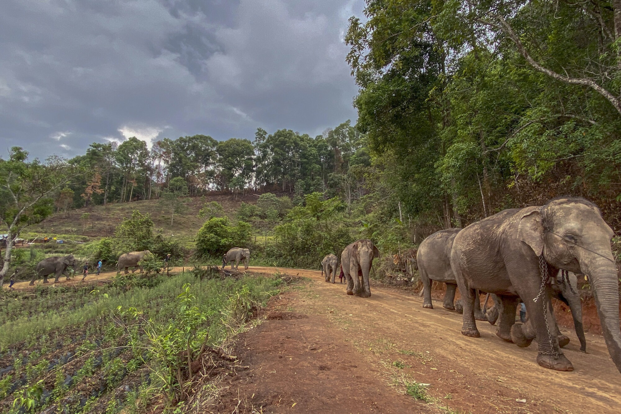 A herd of elephants on a road in northern Thailand