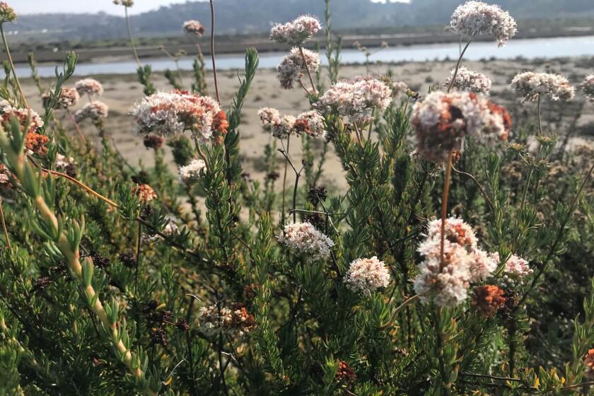 buckwheat in SD trail.jpg