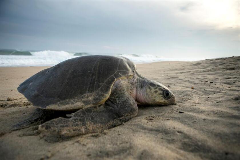 Un ejemplar de tortuga golfina arriba a una de las playas de Escobilla, en Santa María Tonameca, en el estado de Oaxaca (México). EFE/Archivo