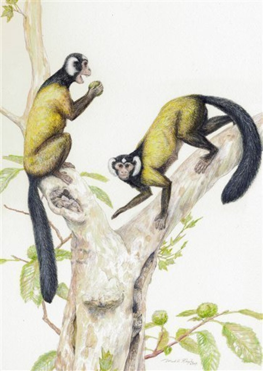 This image provided by the Carnegie Museum of Natural History is an artist's conception of the ancient primate Ganlea megacanina by Mark A. Klingler. Fossils recently discovered in Myanmar could prove that the common ancestors of humans, monkeys and apes evolved from primates in Asia, rather than Africa, researchers contend in a study released Wednesday, July 1, 2009. The Ganlea megacanina fossils came from 10 to 15 individuals of a new species that belonged to an extinct family of Asian anthropoid primates known as Amphipithecidae. (AP Photo/Carnegie Museum of Natural History/Mark A. Klingler)