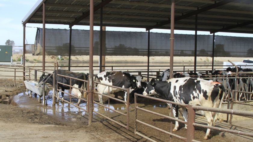 Cows at the GJ Te Velde Ranch dairy farm in Tipton, California. Manure from the 4,000-cow diary farm emits methane that is trapped and used to run a generator. Burning the greenhouse gas for power also qualifies the company to sell carbon credits through a online registry.