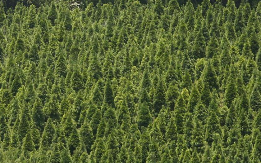 Los Mecanismos de Desarrollo Limpio, en especial los que atañen al sector forestal que fueron establecidos por el Protocolo de Kioto, parecen resultar fallidos, informó hoy el Consejo Nacional de Ciencia y Tecnología (Conacyt). EFE/ARCHIVO