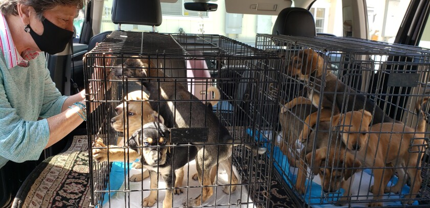 Nineteen puppies and adult dogs from Mexico recently arrived at the Rancho Coastal Humane Society.