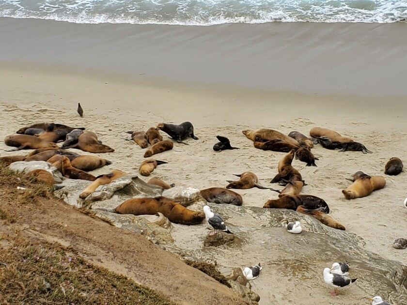 Sea lions haul out on Boomer Beach next to Point La Jolla on June 24.