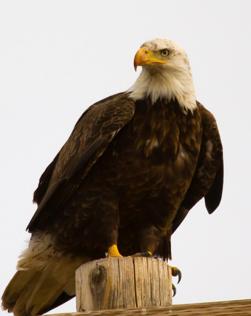 In this undated photo released by the Utah Division of Wildlife Resources, shows a bald eagle, in Utah. State wildlife officials say West Nile Virus appears to the mystery illness that's caused more than two dozen bald eagles to die in Utah this month. The Utah Division of Wildlife Resources says r