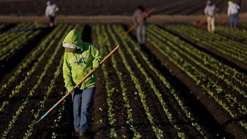 A farmworker culls rows of lettuce in Salinas, Calif.