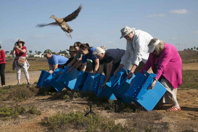 Seven endangered light-footed Ridgway's rails were released in to the Tijuana Slough National Wildlife Refuge on Tuesday October 1, 2019 as part of an ongoing program to to try and stabilize the once abundant birds in an effort led by the U.S. Fish and Wildlife Service and many other partners. Mike and Patricia McCoy, far right side of the group, are heralded as the people who helped save the largest coastal wetland in Southern California in the 1970s and 80s.