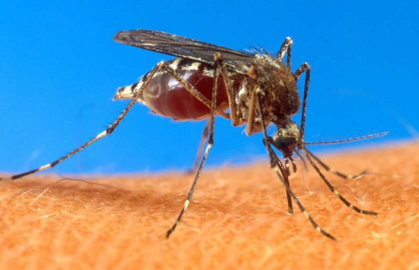The female Aedes aegypti mosquito spreads the virus that causes dengue fever.