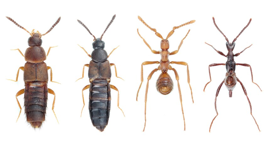 "Two examples of ""free-living"" rove beetles from different genuses, left, and two rove beetles adapted to live among army ants."