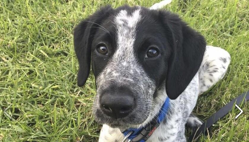 Trainee security dog