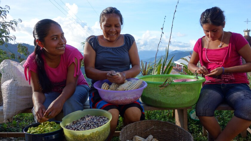 """Women harvest corn in the Sierra Norte Mountains north of Oaxaca in the documentary """"Seed: The Untold Story."""""""